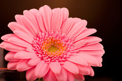 Gerbera 5 Royalty Free Stock Image
