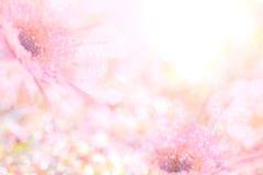 Το αφηρημένο μαλακό γλυκό ρόδινο υπόβαθρο λουλουδιών από Gerbera ανθίζει Στοκ Εικόνες