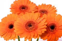 gerbera εστίασης λουλουδιών μαργαριτών πρώτο Στοκ Φωτογραφία