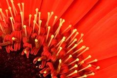 Gerbera4_9 Стоковая Фотография RF