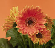 Gerbera Fotos de Stock Royalty Free