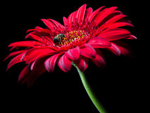 Gerbera Stockfotos