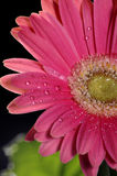 Gerbera. A close up of a bright pink gerbera daisy stock photography