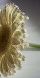 Gerbera Royaltyfria Bilder