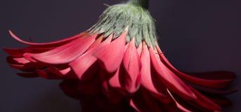 Gerbera Fotografering för Bildbyråer