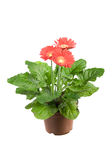Gerbera. Red gerbera daisy flower plant on white Stock Photography