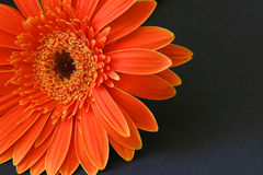 Gerbera. A gerbera daisy on a black background Stock Images