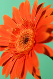Gerbera. A gerbera daisy on a green background Royalty Free Stock Photo