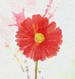 Gerbera Arkivbild