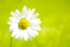 Gerbera. Fresh and beautiful daisy flower in the garden Stock Photography