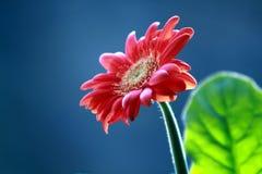 Gerbera aan bloem royalty-vrije stock afbeelding