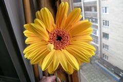 Gerbera alaranjado amarelo na janela imagem de stock