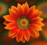 Gerbera alaranjado bonito Imagem de Stock Royalty Free
