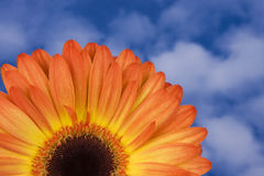 Gerbera alaranjado com céu fotografia de stock