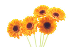 Gerbera amarelo Foto de Stock