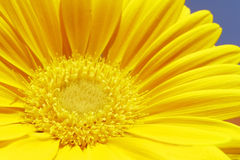 Gerbera amarelo Foto de Stock Royalty Free