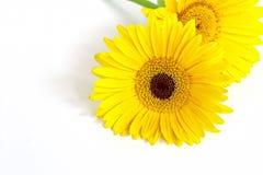 Gerbera amarelo Fotos de Stock Royalty Free