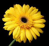 Gerbera amarelo bonito Imagem de Stock Royalty Free