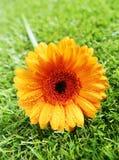 Gerbera amarelo vibrante diasy imagem de stock royalty free