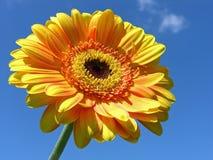 Gerbera amarillo Fotos de archivo libres de regalías