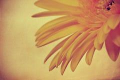 Gerbera amarillo Fotos de archivo
