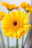 Gerbera amarillo Fotografía de archivo