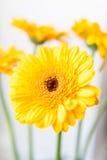 Gerbera amarillo Fotografía de archivo libre de regalías