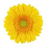 Gerbera amarillo Foto de archivo libre de regalías