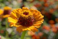 Gerbera amarillo brillante Fotografía de archivo libre de regalías