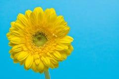 Gerbera amarillo en fondo ciánico Imágenes de archivo libres de regalías