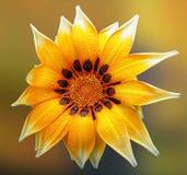 Gerbera amarillo hermoso Imagen de archivo