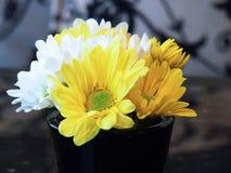 Gerbera amarillo y blanco Foto de archivo libre de regalías