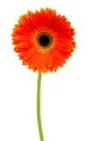 Gerbera anaranjado Imágenes de archivo libres de regalías