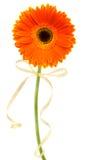 Gerbera anaranjado Imagen de archivo libre de regalías