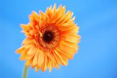 Gerbera anaranjado Foto de archivo libre de regalías