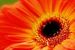 Gerbera anaranjado Fotografía de archivo