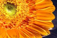Gerbera anaranjado Imagenes de archivo