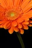 Gerbera anaranjado Fotos de archivo