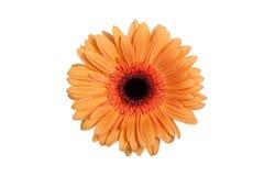 Gerbera anaranjado aislado Imagenes de archivo