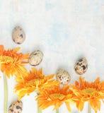 Gerbera anaranjado con los huevos de codornices de pascua en fondo del brigt Foto de archivo
