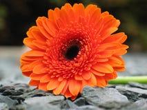Gerbera anaranjado en la pizarra Fotos de archivo
