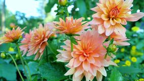 Gerbera anaranjado en un jardín Fotos de archivo