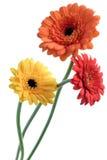 Gerbera anaranjado y amarillo Fotos de archivo