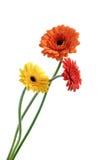 Gerbera anaranjado y amarillo imagenes de archivo