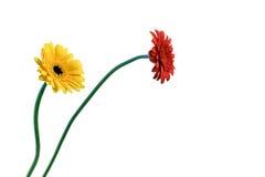 Gerbera anaranjado y amarillo foto de archivo libre de regalías