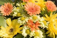 Gerbera anaranjado y amarillo Fotos de archivo libres de regalías