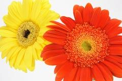 Gerbera anaranjado y amarillo dai Imagen de archivo