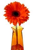 Gerbera arancio Immagine Stock