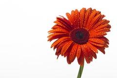 Gerbera arancio con le gocce di acqua su un fondo bianco Fotografia Stock