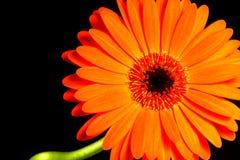 Gerbera arancione Immagini Stock